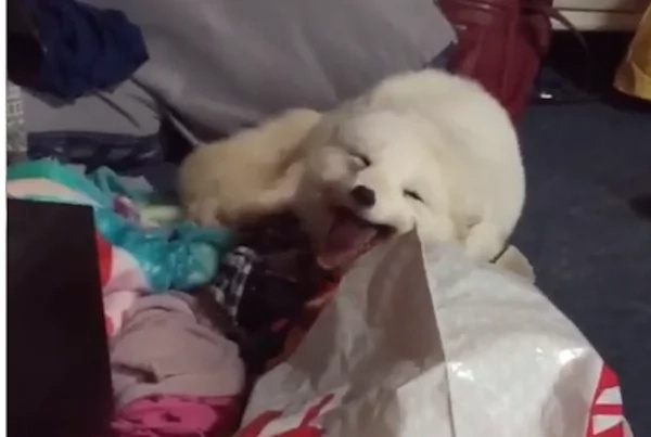 Pet Fox Archer Laughs Out Loud Everytime He Hears A Human Laugh (Video)