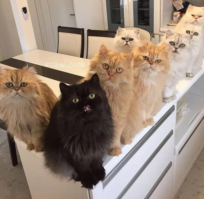 Internet enloqueció con los 12 gatos persas de esta mujer
