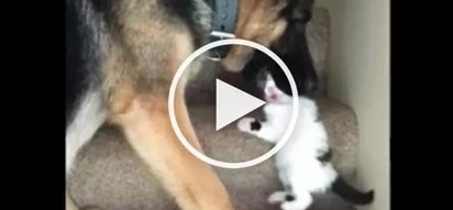 VIDEO: Huge DOG 'eats' little kitten; the reason will SURPRISE you!