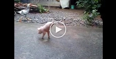 This piglet in Ilocos Norte effortlessly walks with only two legs!