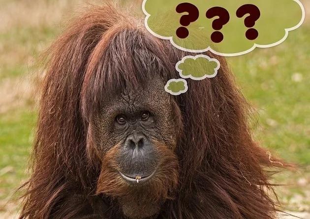 ¡Científicos descubren que este orangután puede hablar!