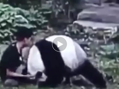 Wag inisin ang bagong gising! Outraged panda wrestles insensitive man who woke him up