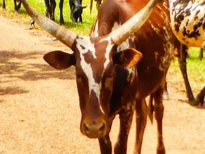 Man demands 24-cow bride price back after discovering his wife was not a virgin