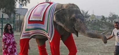 Reconfortante: Mujer teje abrigos gigantes para mantener cómodos a los elefantes rescatados