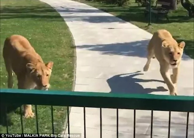 Two lions go wild after getting reunited with the woman who helped to raise them
