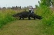See crocodile size of a CAR caught on camera (photos, video)