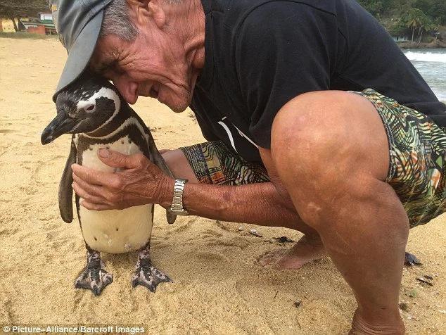 Pingüino tremendamente adorable nada 8000 km para ver a su salvador cada año