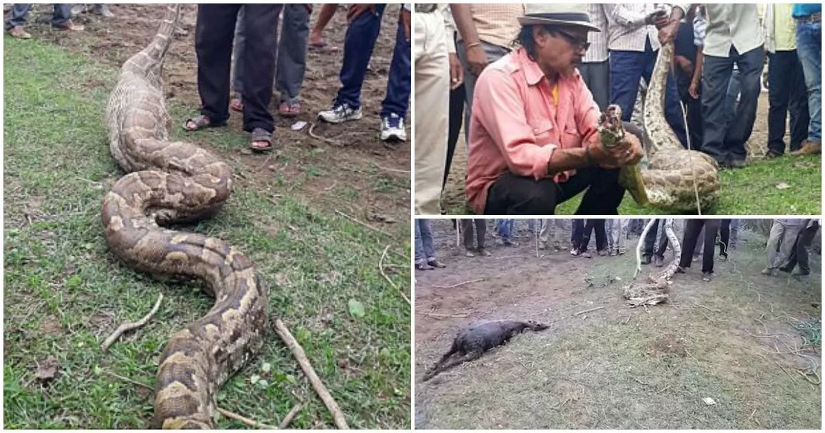 See incredible moment villagers pull goat from mouth of monster 4.5-meter python