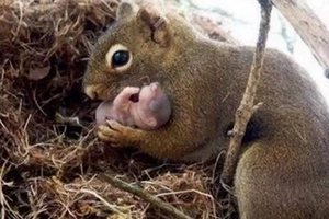 Incroyable vidéo montrant une maman écureuil entrain de sauvé ses bébés d'une mort certaine