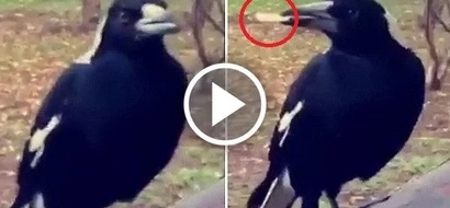 Sky-high sneaky magpie steals cannabis joint