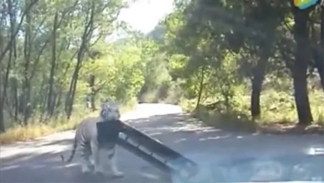 Amazing moment a tiger ripped off a car bumper