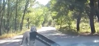 A tiger rips off the bumper from a tourist's car as if it were Lego