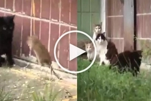 VIDEO: Crazy GIANT RAT attacks 4 cats in an alley! The fight result will SHOCK you