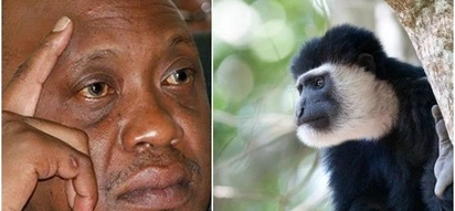 Jubilee politician accuses ODM rival of sacrificing a monkey to win in the August 8 poll