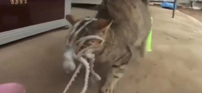 Cat gets octopus clung to his face after trying to eat it