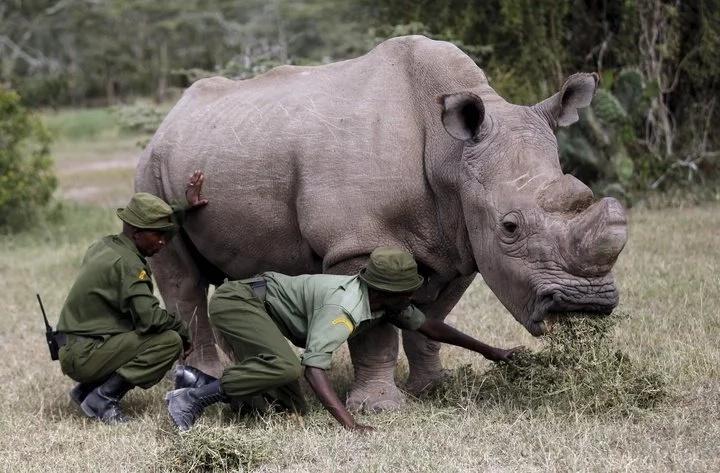 Kenyan male Rhino joins dating site and Kenyans love it