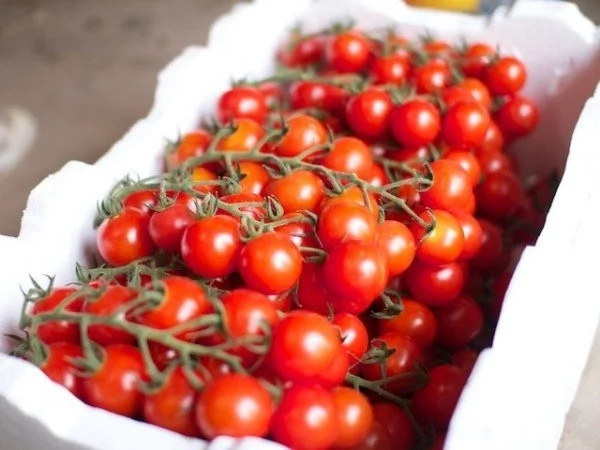 Tomato farming in Kenya. Grow the most popular tomatoes in Kenya