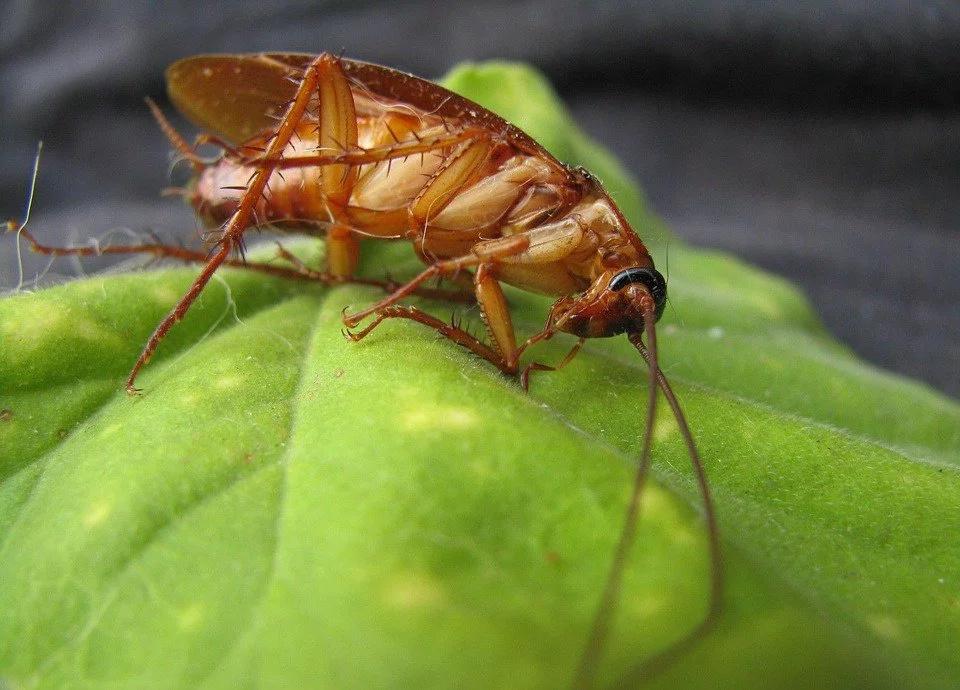 Leche de cucaracha para combatir la desnutrición mundial