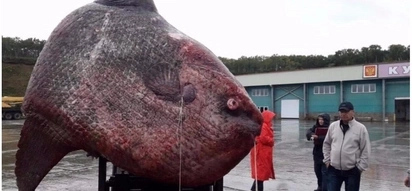 Stunned fishermen catch rare moonfish weighing a whopping 1,200kg