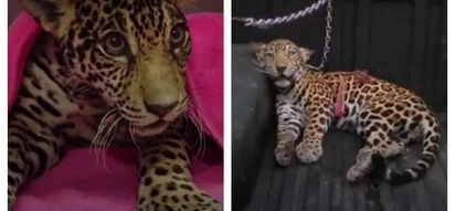 Locals thought that this jaguar is about to die after being shot 18 times. Luckily, doctors were able to help her recover