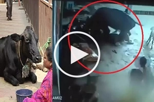 Cow tries to rescue girl from being by her FATHER and uncle