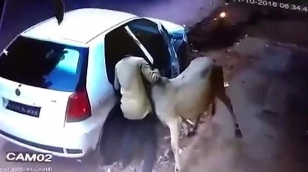 Mira como una vaca entra en este pequeño auto