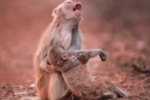 Touching moment when monkey mom desperately screams holding the dead son in her arms (photos)