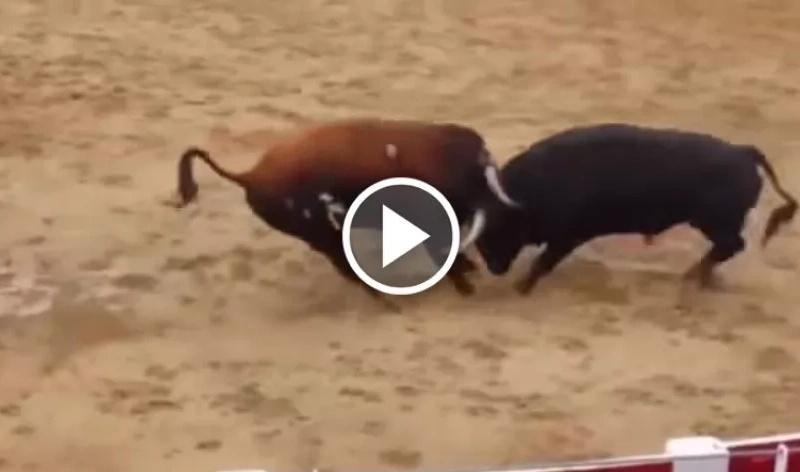 Estos pobres toros chocan tan fuerte que mueren inmediatamente