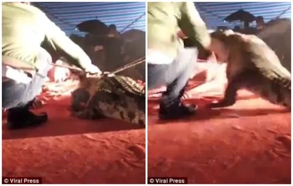 See horrifying moment crocodile bites man's FACE after he put his head in its mouth (photos, video)