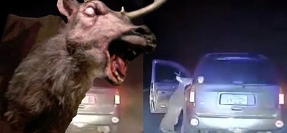 A deer takes it's revenge on the woman that hit it with a truck