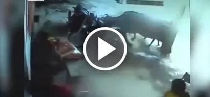 En video quedó registrado el momento en que una vaca intenta salvar a niña de ser apuñalada