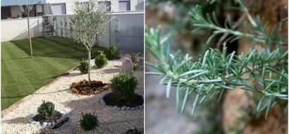 Tienes este pequeño arbusto en el jardín de tu casa y lo que no sabes sobre él es esto