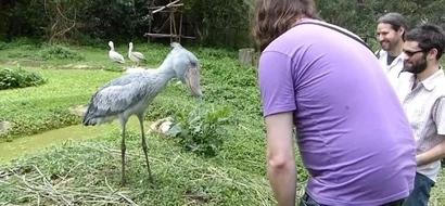 MIRA: Este extraño y gigante pájaro solo deja que la gente se acerque si le hacen reverencia
