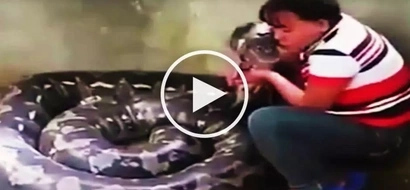 Terrifying Valentine's Day date! Brave Filipina hugs and kisses gigantic snake