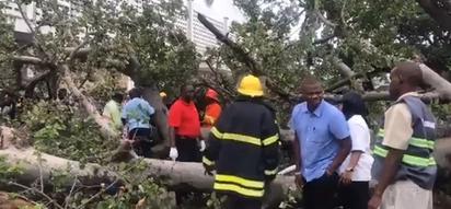 Huge tree falls and kills one in Mombasa as heavy rains wreak havoc (photos, video)