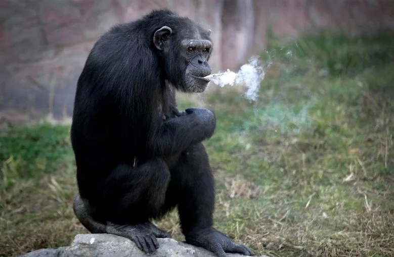 Amazing Chimp In North Korean Zoo Lights And Smokes Cigarettes
