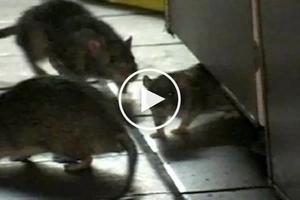 Nakakadiri naman! Scary giant rats attack Filipino patient sleeping in hospital