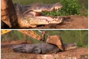 Mira cómo liberaron a monstruoso cocodrilo de 5 metros de largo