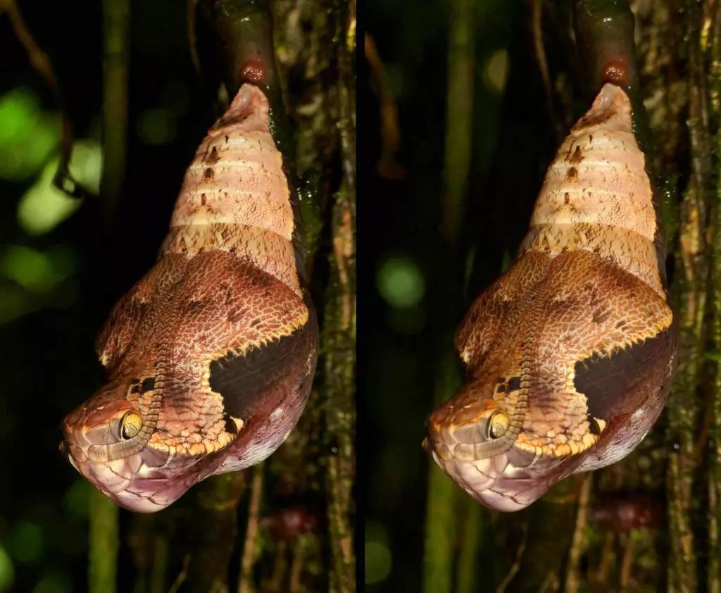 This caterpillar turns into venomous snake head to scare predators off her