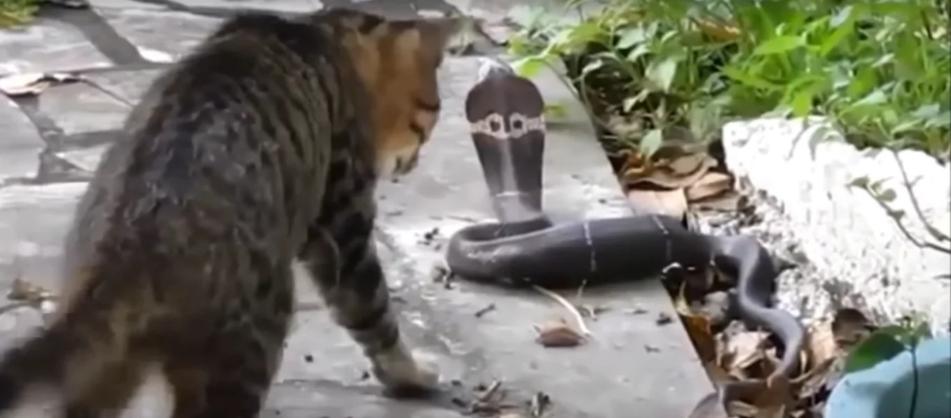 Home Cat Came Face To Face With A Deadly Snake, WATCH What He Gets In Return