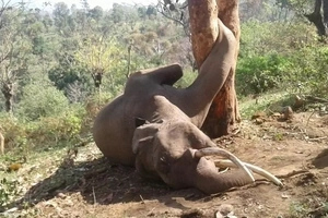 This elephant died a slow PAINFUL death after having its paw stuck in a tree (photos)
