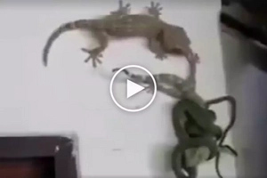 Mapagmahal na tuko: Shocked Pinoys capture video of heroic gecko rescuing lizard friend from deadly snake