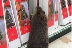 Beaver Apprehended For Trashing Store That Sells Fake Trees