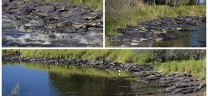 Crocodile paradise! HUNDREDS of crocodiles are photographed basking in the sun next to waterhole (photos)