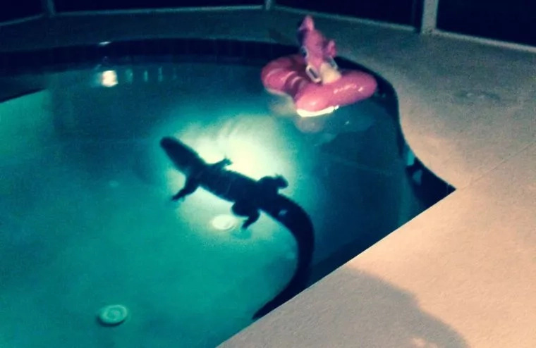 "Florida Family ""Welcomes"" New Member. ALLIGATOR In Pool! (Video)"