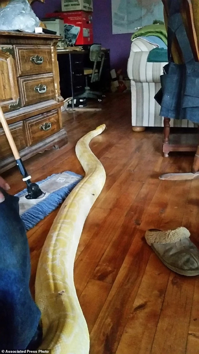 Huge 5.1-meter python that went missing for 2 weeks returns home to its owner