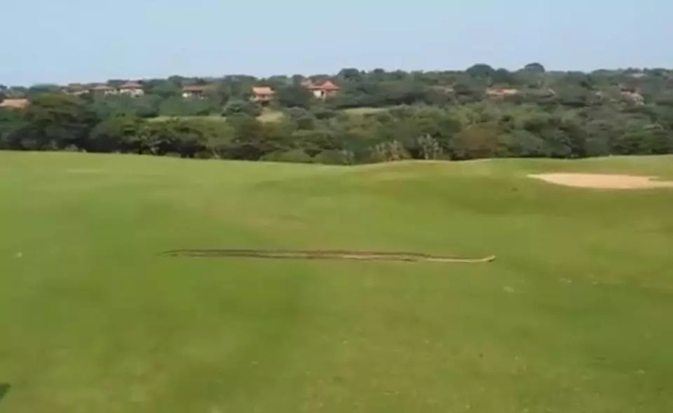 Huge python passing through a golf course causes panic (photos, video)
