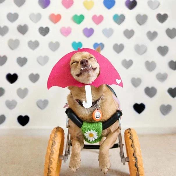 Ella salvó a un perrito discapacitado de la eutanasia. Ahora Daisy parece la perrita más feliz del mundo