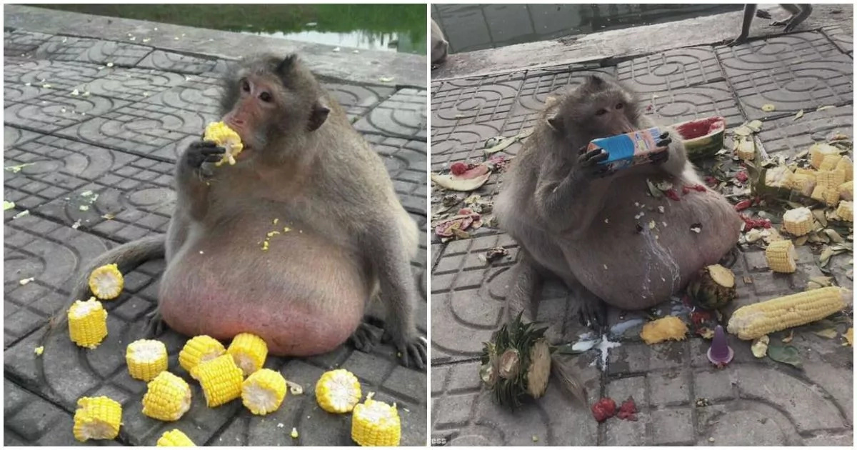 Meet obese 15kg monkey who is being sent to fat camp to lose weight (photos, video)