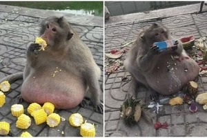 Can't stop eating! See OBESE 15kg monkey being sent to fat camp to lose weight (photos, video)
